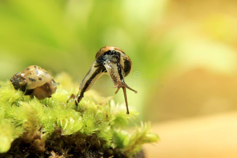 在青苔的婴孩蜗牛 免版税库存图片