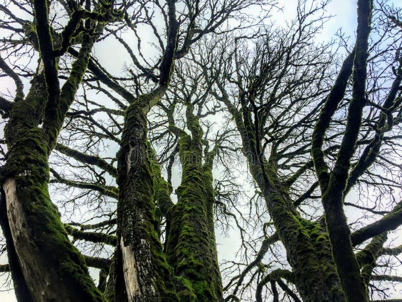 在青苔盖的一棵蔓延的不生叶的槭树的地面透视用许多象分支的动脉 免版税库存图片