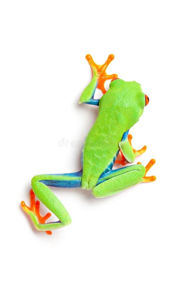 在青蛙之上查出的走的白色 免版税库存图片