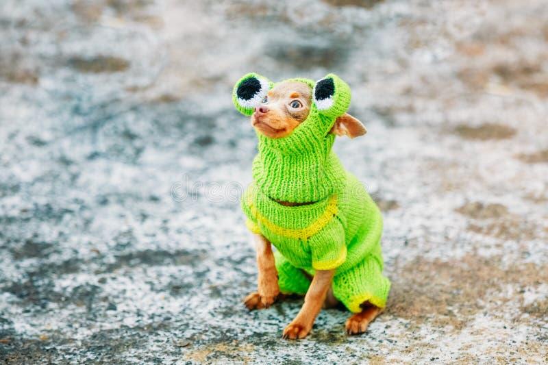 在青蛙穿戴的美丽的微小的奇瓦瓦狗狗 库存照片
