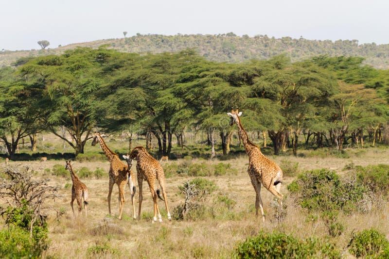 在非洲大草原灌木的Jiraffe家庭 图库摄影