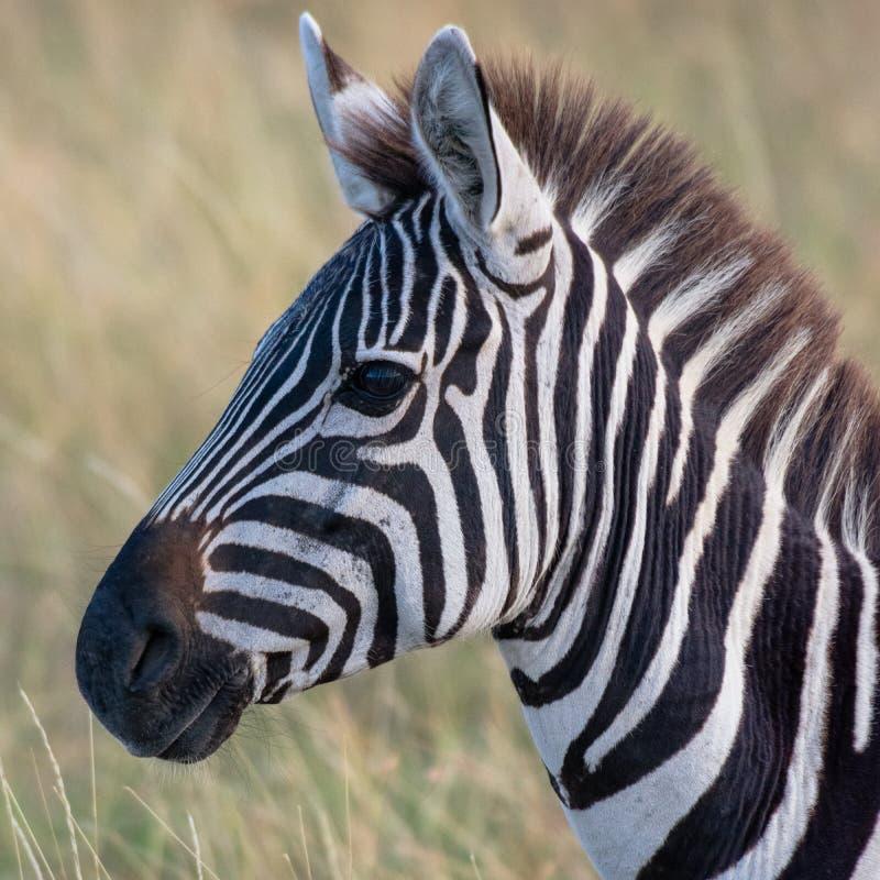 在非洲大草原的斑马,在马塞语玛拉,Kenia 免版税库存照片