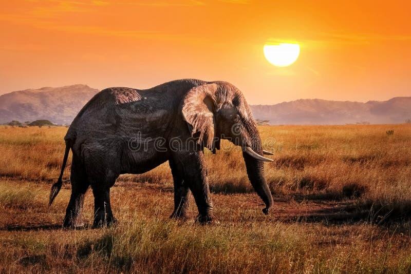在非洲大草原的狂放的大象以美好的橙色日落为背景 免版税图库摄影
