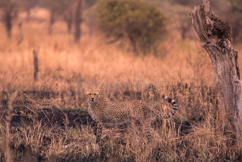 在非洲大草原的猎豹 在塞伦盖蒂国家公园,坦桑尼亚大草原的徒步旅行队  接近马赛马拉,肯尼亚 ? 图库摄影