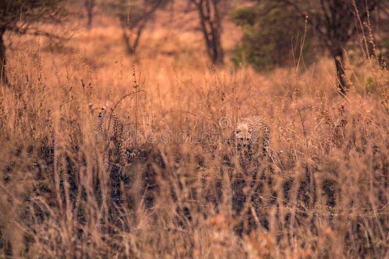 在非洲大草原的猎豹 在塞伦盖蒂国家公园,坦桑尼亚大草原的徒步旅行队  接近马赛马拉,肯尼亚 ? 免版税库存照片