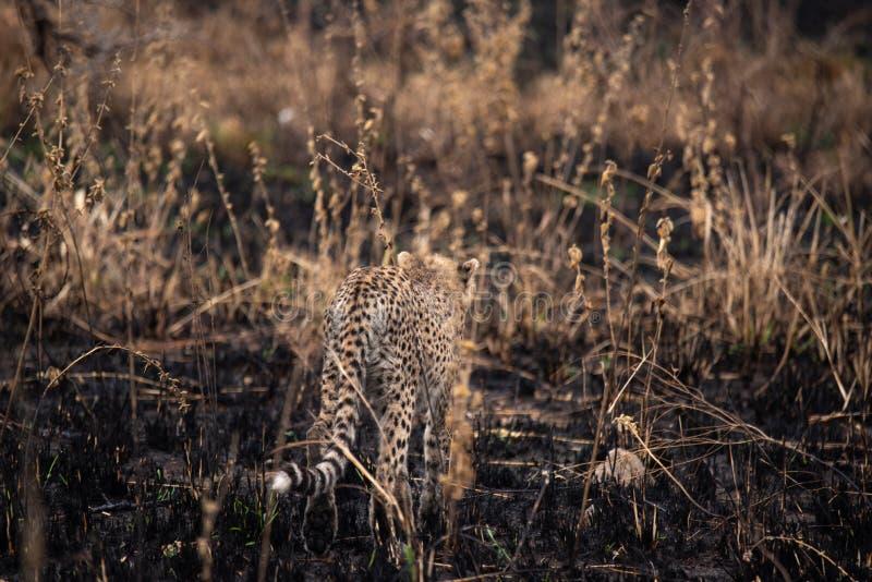 在非洲大草原的猎豹 在塞伦盖蒂国家公园,坦桑尼亚大草原的徒步旅行队  接近马赛马拉,肯尼亚 ? 库存照片