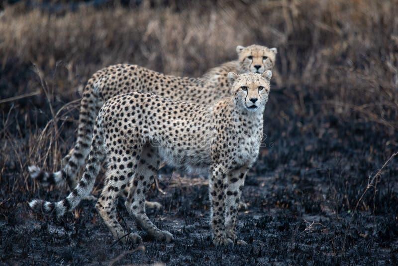 在非洲大草原的猎豹 在塞伦盖蒂国家公园,坦桑尼亚大草原的徒步旅行队  接近马赛马拉,肯尼亚 ? 免版税图库摄影