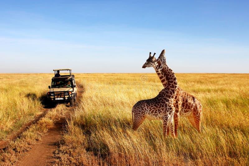 在非洲大草原的野生长颈鹿 坦桑尼亚 免版税图库摄影