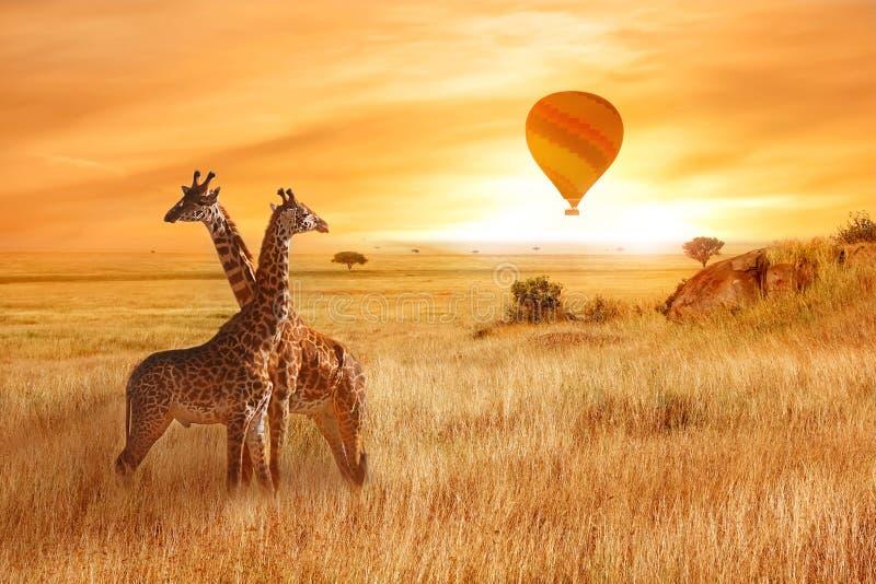 在非洲大草原的长颈鹿以橙色日落为背景 一个气球的飞行在天空的在大草原上 造林 免版税库存照片