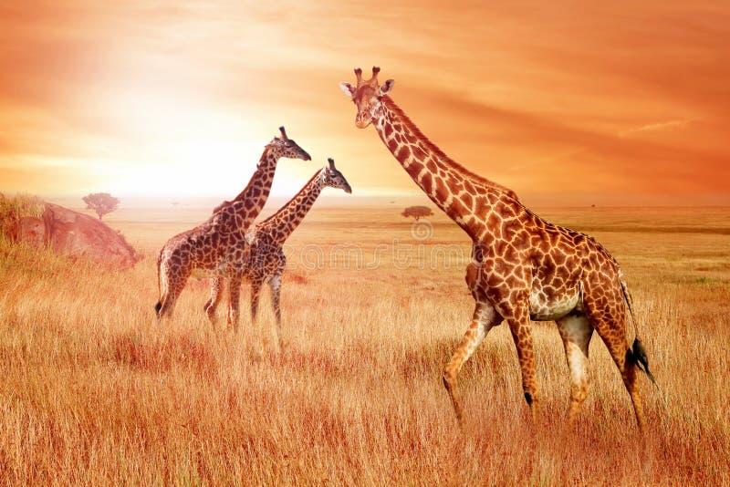 在非洲大草原的长颈鹿在日落 非洲的狂放的本质 免版税库存照片