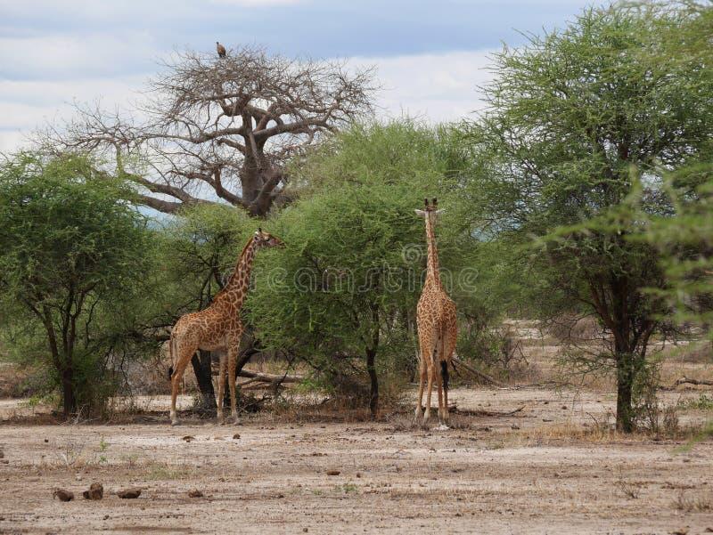 在非洲徒步旅行队Tarangiri-Ngorongoro的Giraff 库存图片