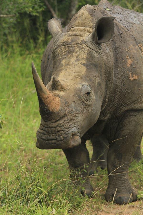 Rhino_02 图库摄影