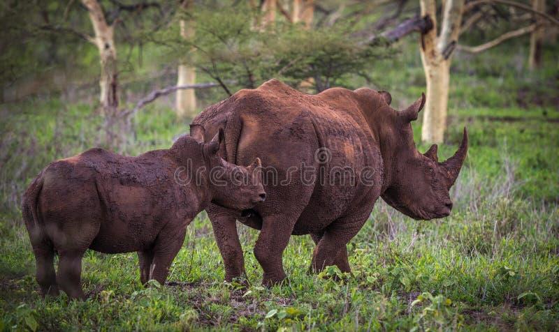 在非洲灌木的白色犀牛 库存图片
