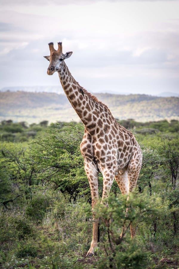 在非洲灌木的长颈鹿 免版税库存照片