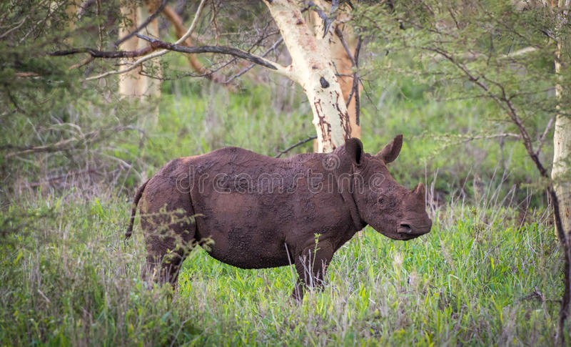 在非洲灌木的婴孩白色犀牛 库存照片