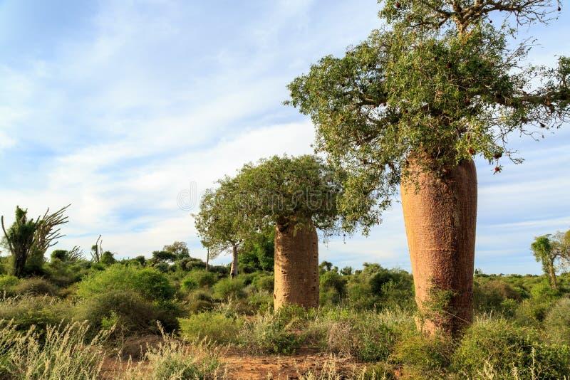 在非洲风景的猴面包树树 免版税图库摄影