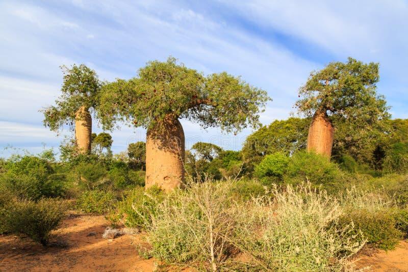 在非洲风景的猴面包树树 库存照片