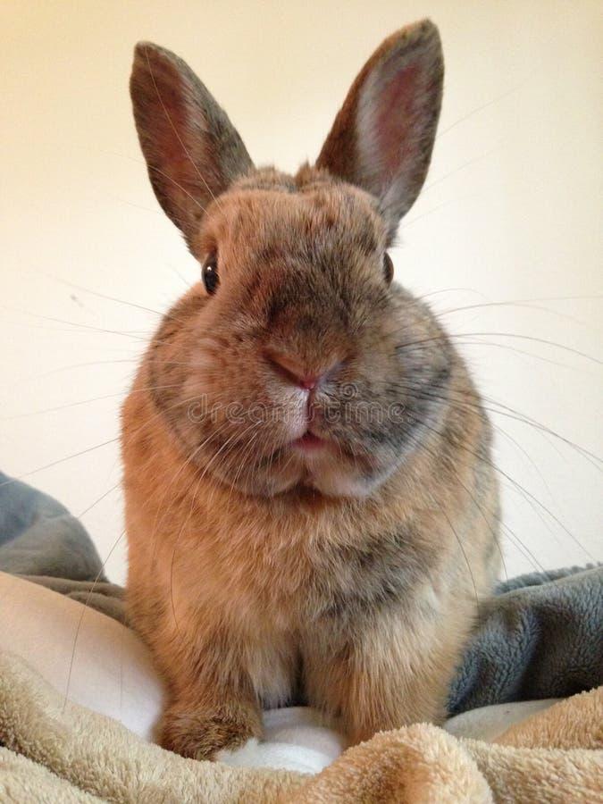 在面对照相机的毯子的逗人喜爱的兔子 免版税库存照片
