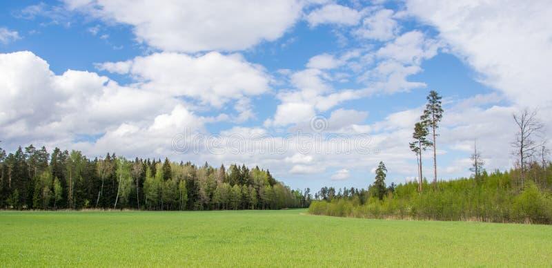在领域、森林和白色云彩的绿色年轻谷物在天空蔚蓝在夏天 图库摄影