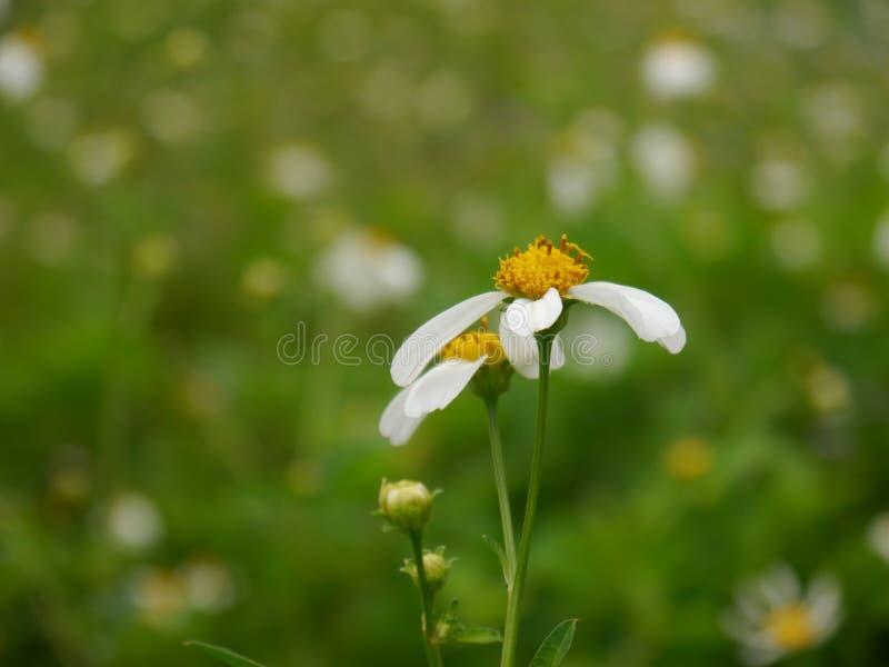 在领域中间的白色野花 免版税库存照片