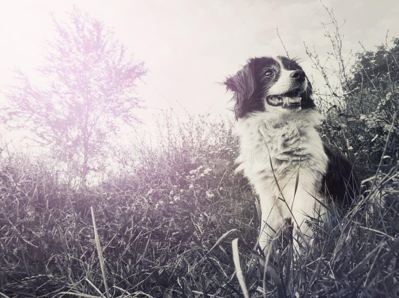 在领域供以座位的一条愉快的博德牧羊犬狗的黑白画象在看在享用附近的自然中间 免版税库存图片