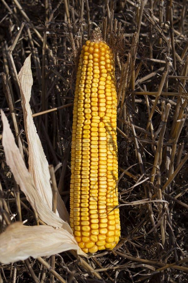 在领域关闭的成熟玉米 免版税图库摄影