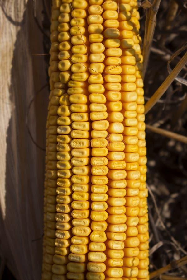 在领域关闭的成熟玉米 免版税库存照片