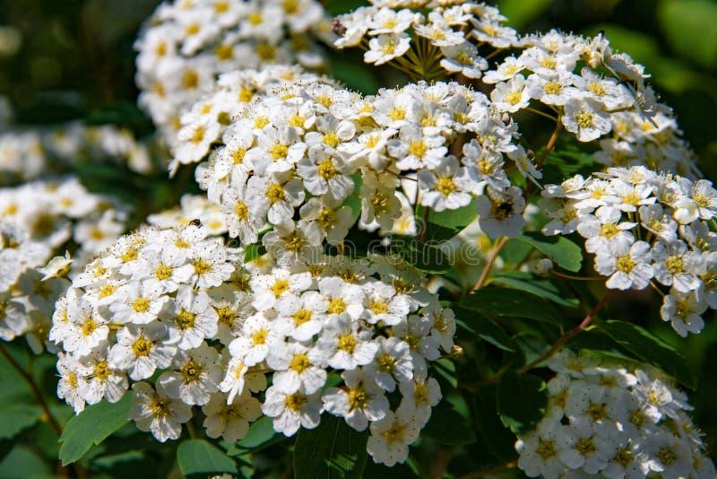 在领域关闭的白色野花 免版税图库摄影