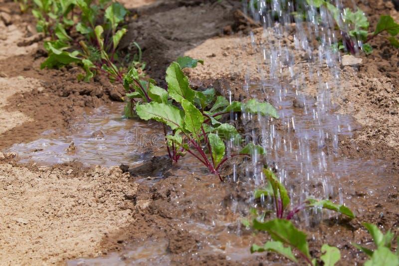 在领域和农夫的甜菜新芽浇灌他们;幼木在农夫的庭院,农业里 库存照片
