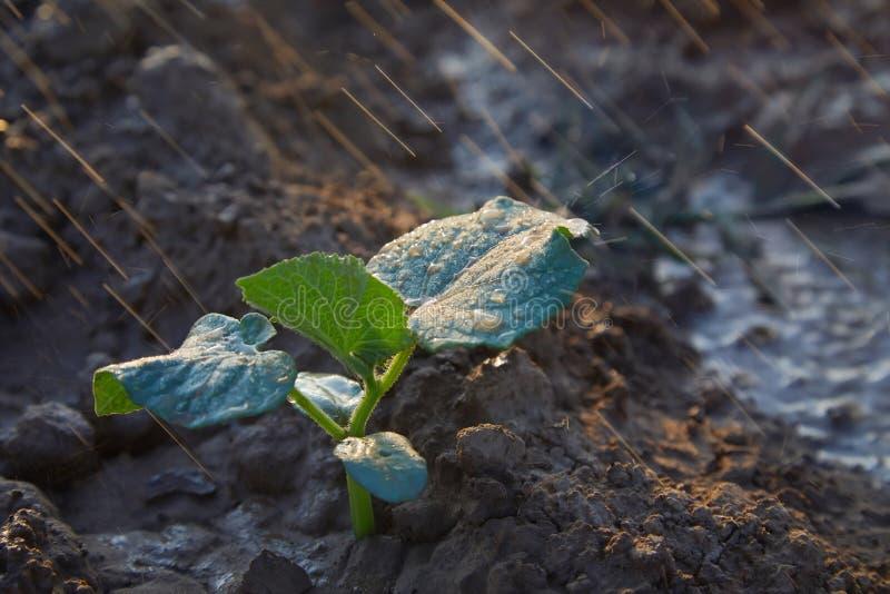 在领域和农夫的黄瓜新芽浇灌它;幼木在农夫的庭院里 r 免版税库存照片