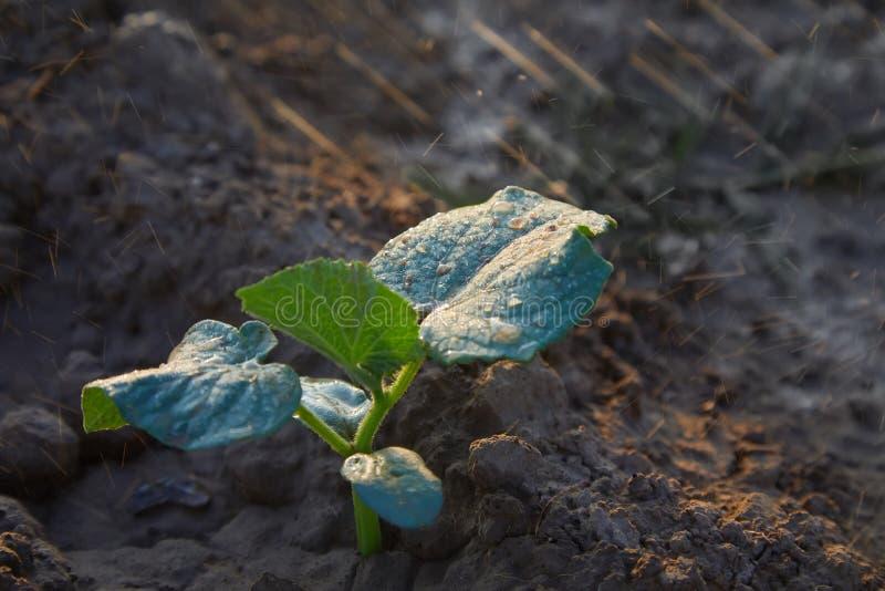 在领域和农夫的黄瓜新芽浇灌它;幼木在农夫的庭院里 r 库存照片