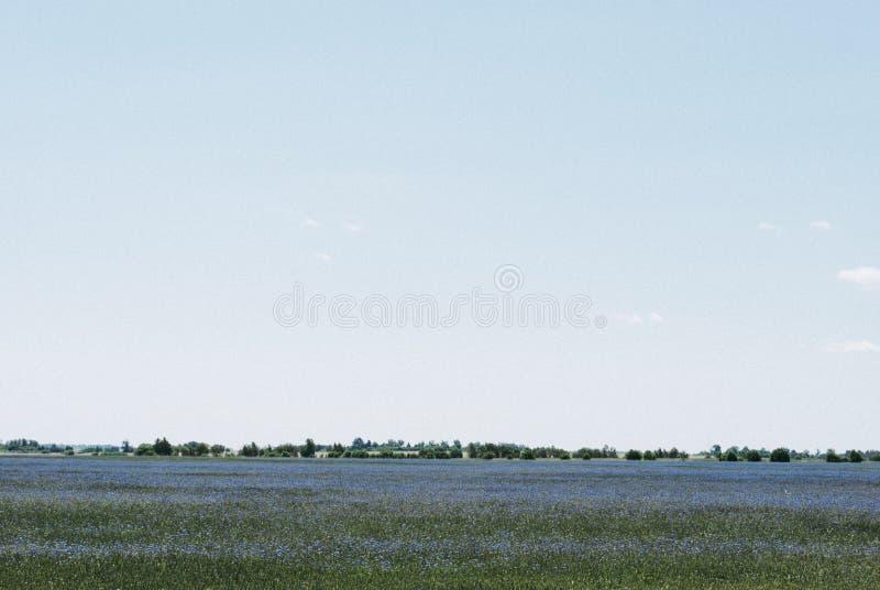 在领域和蓝天的明亮的蓝色矢车菊 库存图片