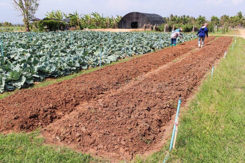 在领域圆白菜的农业学家工作。 库存图片