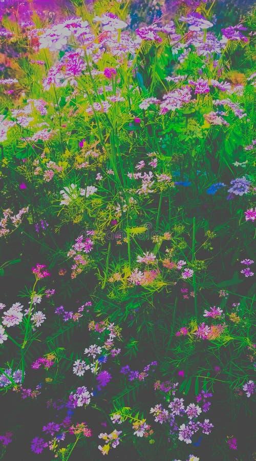 在领域夺取的桃红色丝毫和紫色花的布什 库存照片
