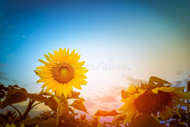 在领域特写镜头的向日葵在日落 选择焦点 r 库存图片