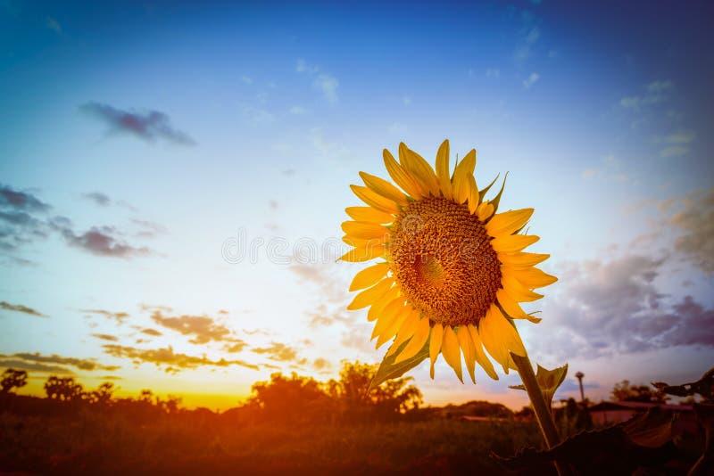 在领域特写镜头的向日葵在日落 选择焦点 r 免版税库存图片
