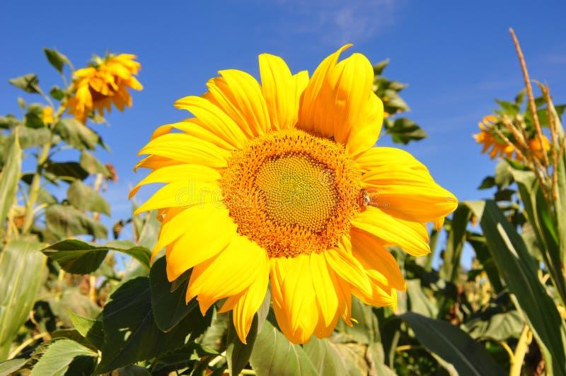 在领域的向日葵 免版税库存照片