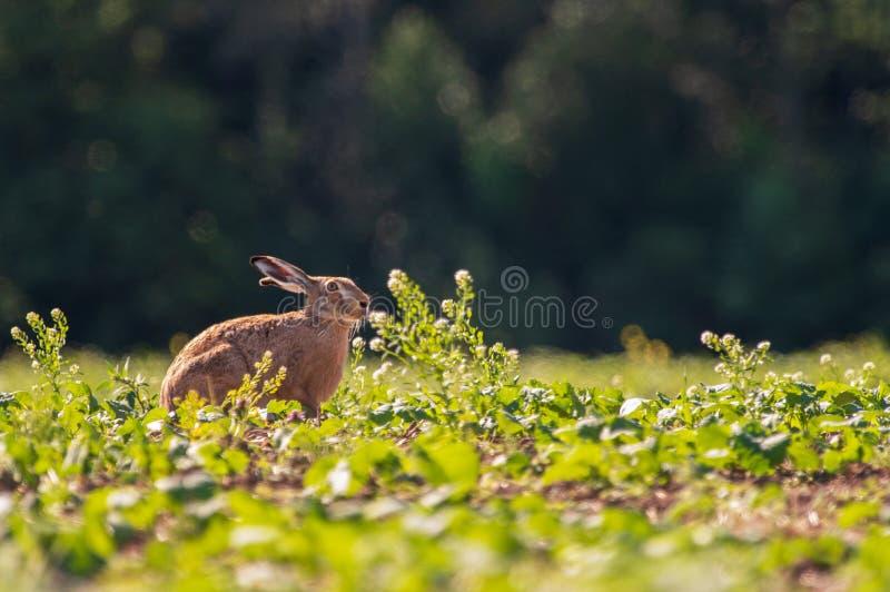 在领域的一个野兔 免版税库存照片