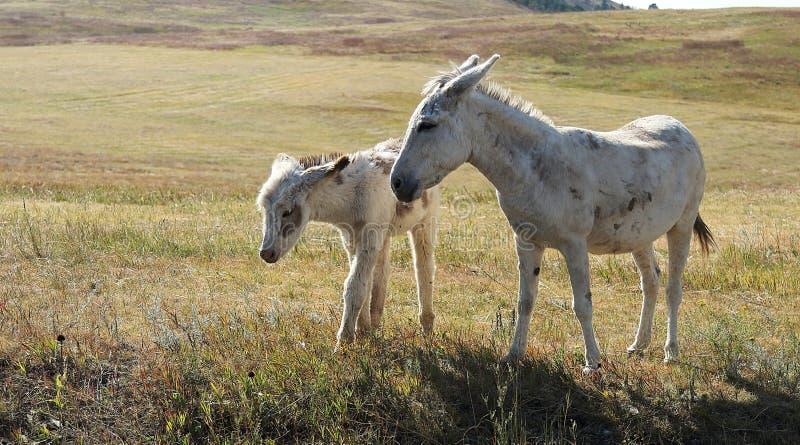 在领域的一只母亲和小驮货驴子在Custer国家公园 免版税图库摄影