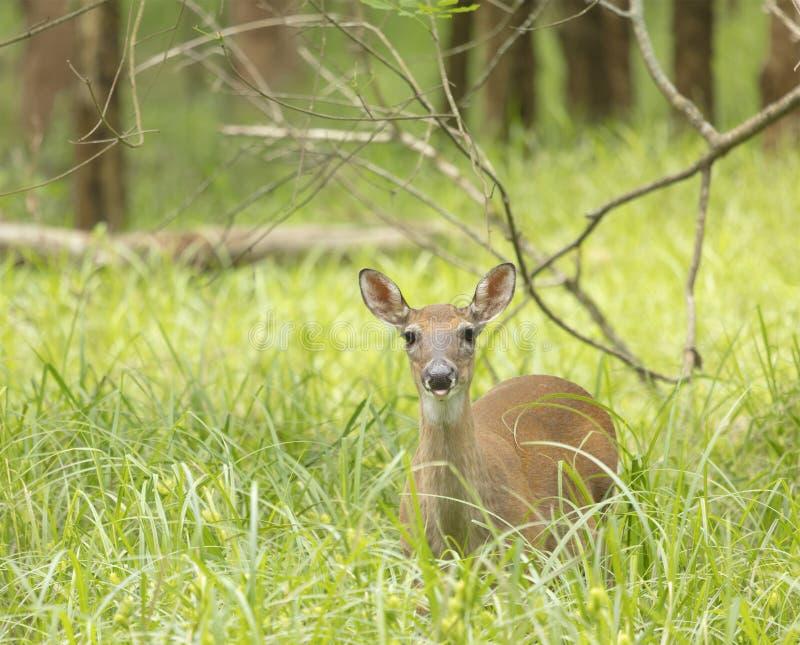在领域的一头唯一机敏的鹿 免版税图库摄影