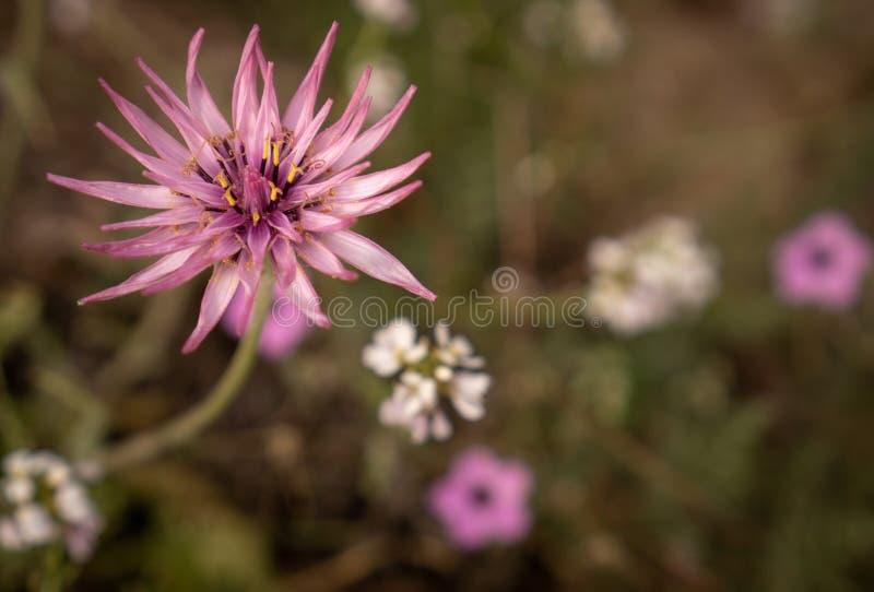 在领域的一朵桃红色野花 图库摄影