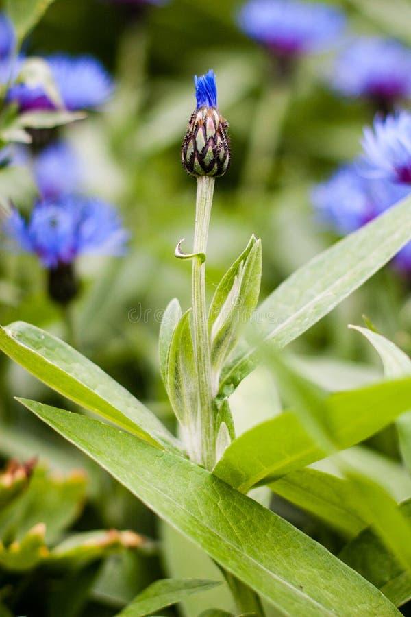 在领域的一朵美丽的平直的caltrop花 库存照片