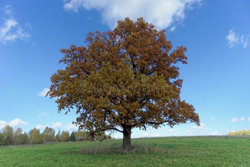 在领域的一棵孤立橡木在秋天 库存照片