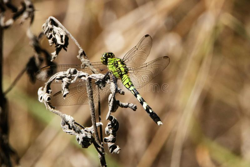 在领域的东部Pondhawk蜻蜓 图库摄影