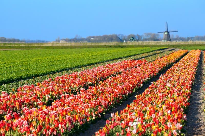 在领域的五颜六色的郁金香由荷兰风车 免版税库存照片