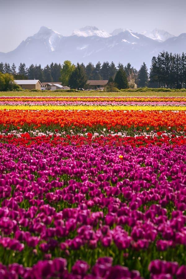 在领域的五颜六色的郁金香 库存照片