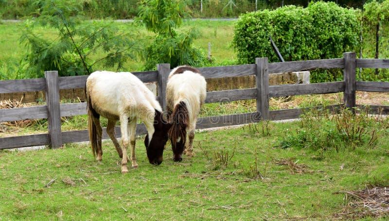 在领域的优美的黑白马 免版税库存照片