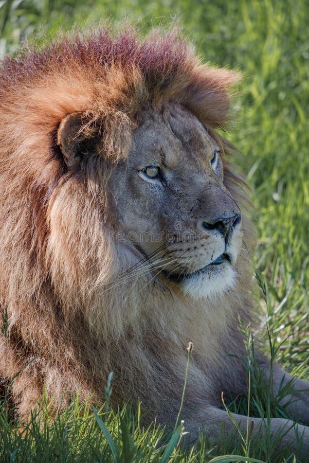 在领域的公狮子特写镜头 库存照片