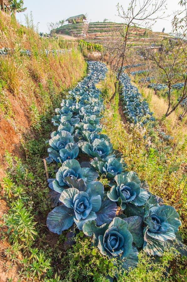 在领域的农业红叶卷心菜 库存照片