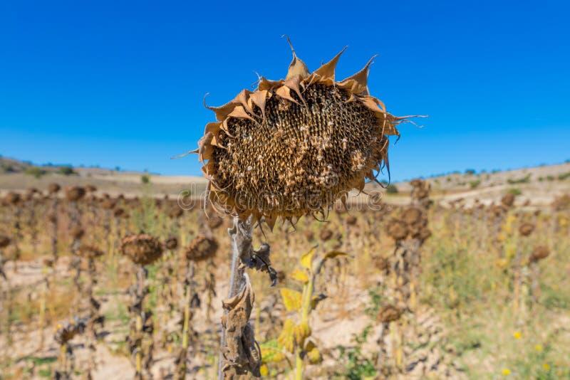 在领域的凋枯的向日葵 库存照片